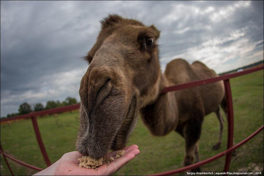 Царство верблюдов